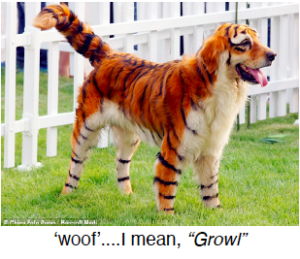 dog colored in tiger stripes