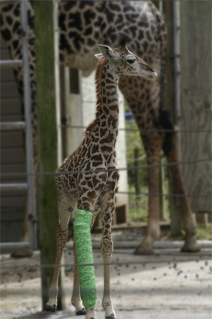 broken legged giraffe