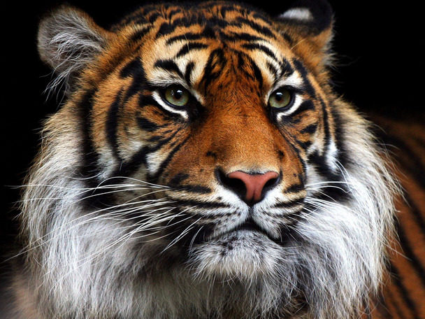 the power of a whole body vibration machine represented by a tiger